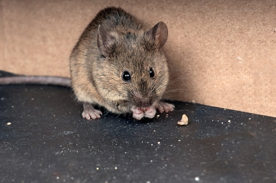 Baking Soda Poison For Mice2
