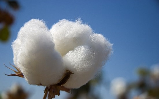 Is Cotton a Flower or a Fruit3