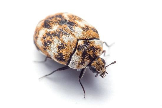 Does Vinegar Kill Carpet Beetles2