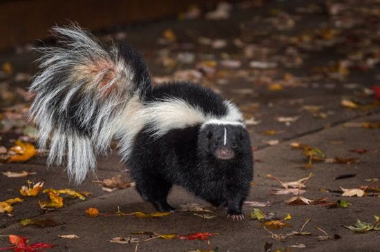 How to Get Rid of Skunks With Chocolate3
