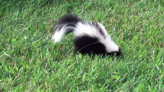 How to Get Rid of Skunks With Chocolate1